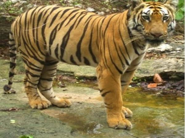 Tiger travels 1,300 km over 150 days to search for new territory, mates